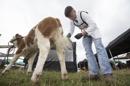 Cian Martin from Templemore preparing his Simmental calf for judging at last year's Tullamore Show and FBD National Livestock Show. Commercial cattle entries are up 20pc for this year's show. Photo: Alf Harvey