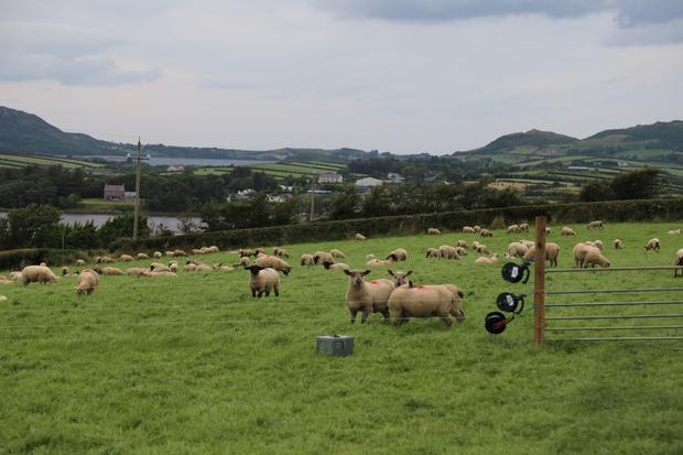 Grazing: Ewe lamb replacements selected by Michael Duffy at weaning