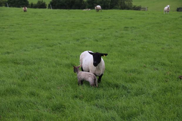 Knee-deep: One of the May/June lambing ewes enjoying the after-grass on the farm of Michael Duffy