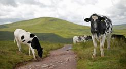 Researchers studied samples from 283 cows (Yui Mok/PA)