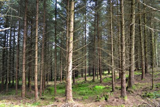 Barking up the wrong tree: Without Sitka spruce there would be no commercial planting of broadleaves