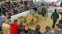 Pen of ten: The Mayo Mule and Greyface Sale at Ballinrobe. Photo: Conor McKeown