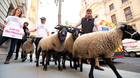 Sheep on the streets: A flock of sheep are herded past government buildings in Whitehall, London during a Farmers for a People's Vote protest last month. Photo: Yui Mok/PA Wire