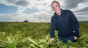 High finance: Declan Walsh grew two acres of cannabis on his farm outside Kilkee in west Clare this year. Photo: Natasha Barton
