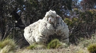 Chris the woolly sheep is seen in this undated picture from social media obtained by Reuters on October 22, 2019. RSPCA ACT /via REUTERS