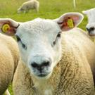 Sheep farmers faced an extra cost of the new EID tags