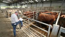 Buyer Martin Hanlon from Bagenalstown looks over cattle at Leinster Marts in Carlow as the marts have had to scale back and reorganise to facilitate sales and adhere to Covid-19 restrictions. Picture:  Finbarr O'Rourke