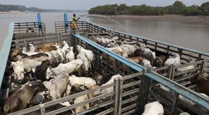 A man cools cattle on a beached boat in the Amazon river, in the city of Manaus, Brazil. REUTERS/Bruno Kelly