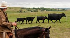 Ranchers sort cattle for early weaning.