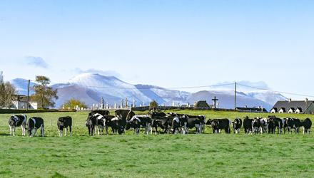 John Heney's cattle pictured grazing last week with Kilfeacle graveyard and a snow-covered Galteemore in the background. The unseasonal cold spells recently have disrupted grass growth for a second round of grazing, says John.