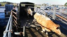Cattle unloaded by farmer. Picture; Gerry Mooney