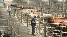 Cattle prices have held at similar levels for weeks now.