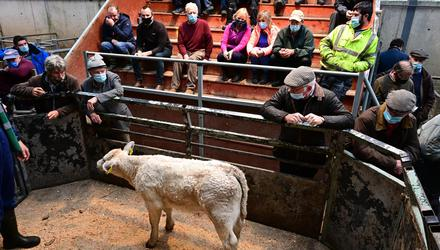 Nice price: This Charolais bull calf, born September 2021, sold for €480 at Leinster Mart, Carlow. Photo Roger Jones.