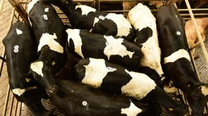 On the move: The slide in price for Friesian bullocks appears to have halted. Photo: Roger Jones