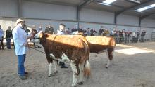 All change: The conventional showing of Simmentals at the society shows and sales which has had to be discontinued under Covid-19 restrictions