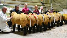 Rosettes: A superb line-out of the winners in the Open Ram class, in order of merit, at the Irish Suffolk Sheep Society Show and Sale at Roscrea