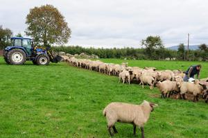 David Ashmore feeding his lambs at Knockullard,Co Carlow. Grass is in short supply and David is feeding 200 lambs a ration of nuts and rolled barley with some on farm whole barley at a rate 1lb per lamb.
