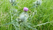 Damage: The creeping thistle is the most widespread and troublesome member of the thistle family