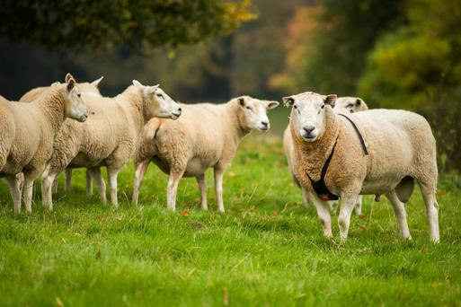 The incidence of ewes culled for mastitis varied from 1.6pc to 13.3pc among age groups with an average of 5.7pc culled annually