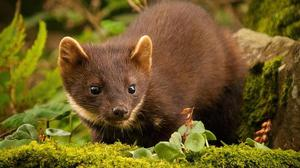 Killer: the pine marten is no friend of poultry farmers