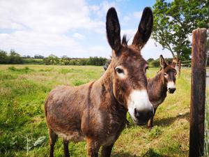 Identity crisis: Daragh needs to prove to the Department of Agriculture that this pair of donkeys belong to him in order to allow an overdue Glas payment to be processed