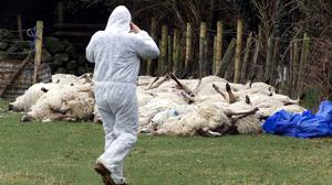 Draconian measures: Slaughtered sheep at a farm on the Cooley Peninsula in Co Louth in March 2001 Photo: PA