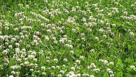 Clover's importance is set to increase as stricter restrictions and obstacles to chemical nitrogen use come into play in future. Photo: Seamus Farrelly