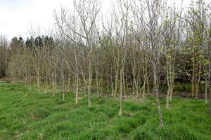 The ash trees are part of a natural woodland mix along with rowan and birch on the farm.  Photo: Alf Harvey