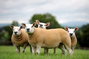 Texel will be just one of the sheep societies with a presence at the Ploughing Championships
