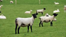 The recently imported Sufolk and Texel sheep in Athenry - the widespread use of genomics by New Zealand sheep farmers has helped the country develop an annual rate of genetic improvement that is three times higher the Irish figure. Photo: Ray Ryan