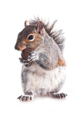 The North American grey squirrel is on a pests EU hitlist