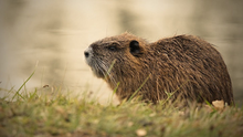 Coypus have been sighted in several counties