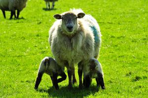 It's springtime again, and lambs are frolicking.