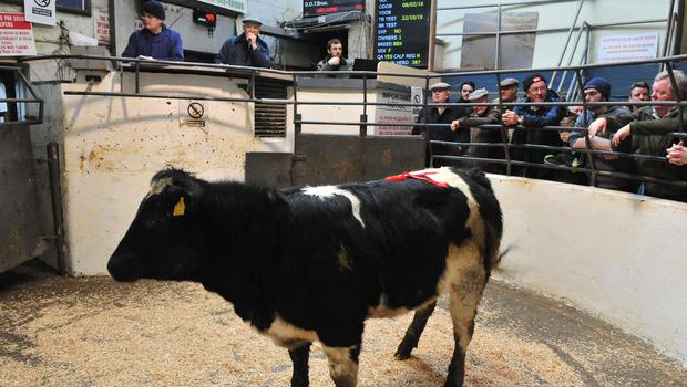 BBX heifer, DOB: 08/02/16, 395 kg, price €1180. Photos: Roger Jones.