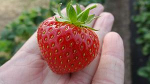 Soft target? Keelings have come under fire for flying in Bulgarian workers to harvest its strawberry and other soft fruit crops