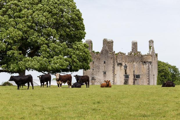 Cattle grazing near the ruins of a 16th century castle on the estate where 185ac of grassland has been farmed by Gurteen Agricultural College