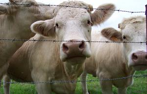 Farmers have blamed the absence of a live export trade for cattle price fall