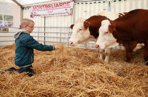 Finian McDonald (8) from Tinahely Co Wicklow meets two Montbeliarde dairy cows at last week's ploughing Photo: Frank McGrath