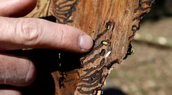 A forest researcher points at a bark beetle near the village of Markvartice, Czech Republic, April 5, 2019. Picture taken April 5, 2019. REUTERS/David W Cerny