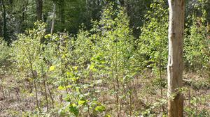 Higher rate: the forestry premium is greater for planting a native woodland