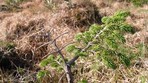 Something lacking: Severe phosphorus deficiency in Sitka spruce. Ensure satisfactory nutrient levels to avoid this scenario