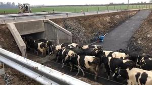 Re-routed: Underpasses often form a key part of roadworks on farmland acquired by local authorities and they can have a lasting affect on a dairy farm's operation and profitability