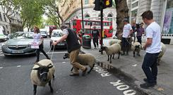 A flock of sheep are herded past government buildings in Whitehall (Yui Mok/PA)