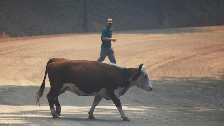 Hard times: A Hereford cow is salvaged by its rancher Joel Carver, after its hoofs were burned in Californian fires. It was dispatched and sold for a fraction of its normal value Photo: Reuters