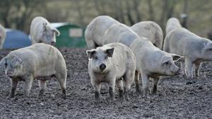 The new technique could help farmers rear healthier, more productive animals such as pigs using fewer resources such as feed, medicines and water.