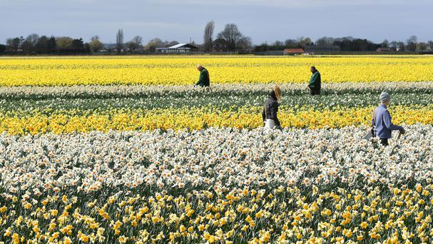 Workers make their way along rows of daffodils removing any rogue varieties at Taylors Bulbs in Holbeach, Lincolnshire.