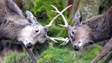 Two deer go eye to eye to see who is the best.