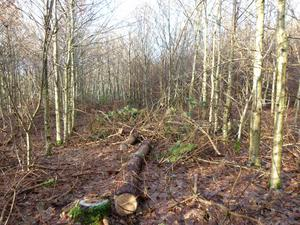 Thinning your forest, felling a tree on the farm or coppicing a woodland all have one thing in common: you have to have a valid felling licence in place before you start the work.