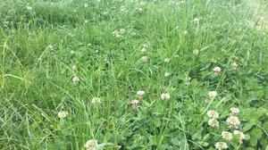 The inclusion of white clover in the sward relative to perennial ryegrass alone resulted in lambs reaching slaughter weight 7 days faster.
