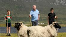 All about taste: Sheep farmer Martin Calvey getting help from grandsons Jack Dempsey and Cian Kilbane at Keel, Achill, Co Mayo. Photos: Conor McKeown